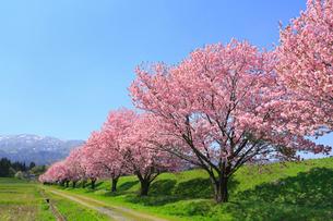 台の沢桜と朝日連峰の山並みの写真素材 [FYI02677012]