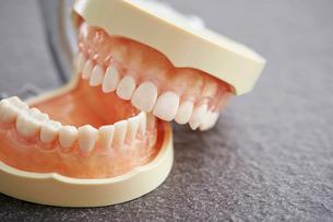 歯の模型の写真素材 [FYI02677025]