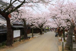 新庄宿のがいせん桜の写真素材 [FYI02677156]
