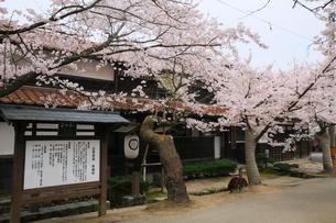 新庄宿のがいせん桜の写真素材 [FYI02677201]