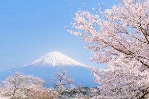 静岡県 桜と富士山の写真素材 [FYI02677216]