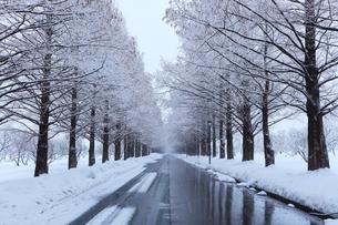 冬のメタセコイア並木に降雪の写真素材 [FYI02677256]