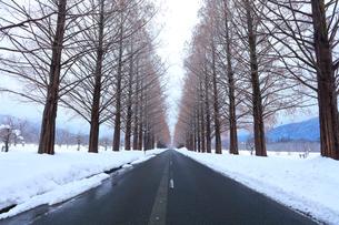 冬・メタセコイア並木の雪化粧の写真素材 [FYI02677262]