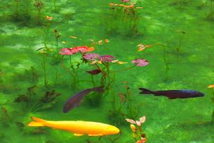 モネが描いた絵のような池の写真素材 [FYI02677302]
