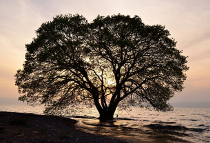 琵琶湖湖畔の一本木 夕景 の写真素材 [FYI02677304]