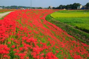 矢勝川の彼岸花の写真素材 [FYI02677318]