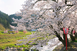 美甘宿場桜の写真素材 [FYI02677363]