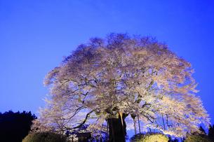 醍醐桜のライトアップ夜景の写真素材 [FYI02677417]
