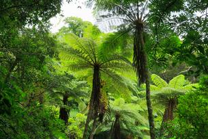 奄美大島 金作原原生林のヒカゲヘゴの写真素材 [FYI02677427]