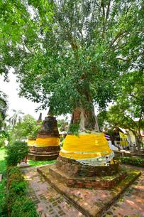 ワット・ナー・プラ・メーン木に飲み込まれたパゴタの写真素材 [FYI02677438]