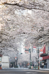 日本橋さくら通りの桜並木の写真素材 [FYI02677488]