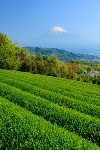 静岡県 富士市の茶畑と富士山の写真素材 [FYI02677532]
