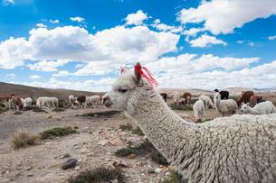アンデス高原のアルパカの群れの写真素材 [FYI02677566]