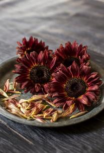 ブリキの花器にアレンジされたシックな色味のヒマワリの写真素材 [FYI02677622]