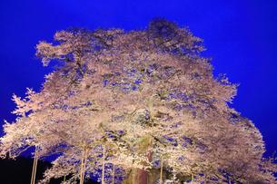 醍醐桜のライトアップ夜景の写真素材 [FYI02677656]