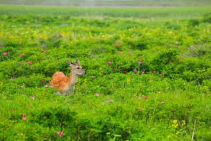 野付半島 花畑とエゾシカの写真素材 [FYI02677722]