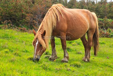 尻屋崎の寒立馬の写真素材 [FYI02677782]