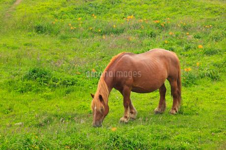 尻屋崎の寒立馬の写真素材 [FYI02677801]