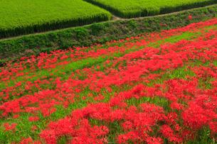 矢勝川の彼岸花の写真素材 [FYI02677813]