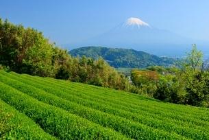 静岡県 富士市の茶畑と富士山の写真素材 [FYI02677903]