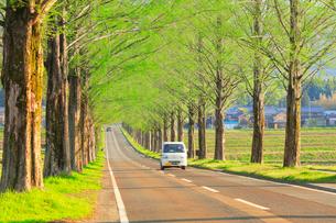 メタセコイア並木に軽トラックの写真素材 [FYI02677920]