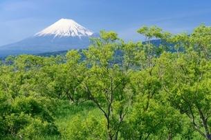 浮島ヶ原自然公園の新緑と富士山の写真素材 [FYI02678004]