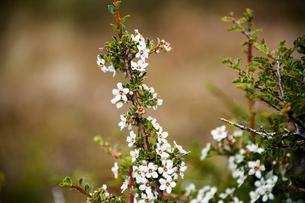 パタゴニアの花:エスカロニア・ビルガータの写真素材 [FYI02678005]