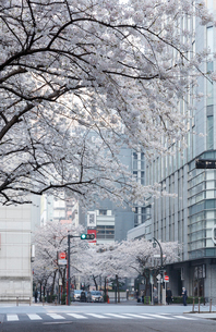 日本橋さくら通りの桜並木の写真素材 [FYI02678011]