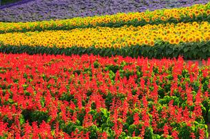 中富良野フラワーパークの花畑の写真素材 [FYI02678073]