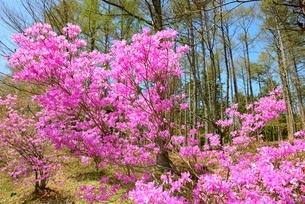 森に咲くミツバツツジの写真素材 [FYI02678107]