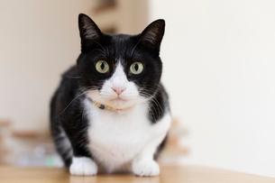 飼い猫の写真素材 [FYI02678133]