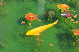モネが描いた絵のような池の写真素材 [FYI02678134]