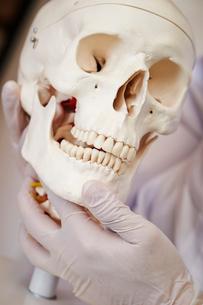 頭蓋骨標本の写真素材 [FYI02678146]