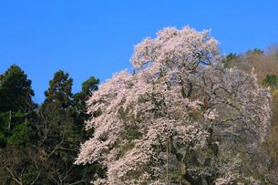 秋山の駒ザクラの写真素材 [FYI02678150]