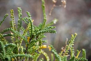 パタゴニアの植物:パラメーラの写真素材 [FYI02678164]