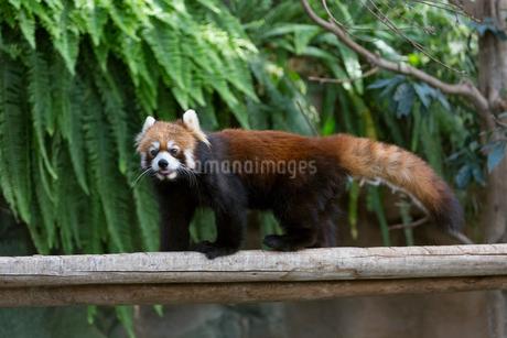 歩くレッサーパンダの写真素材 [FYI02678213]