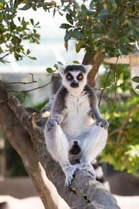 木の上に座るワオキツネザルの写真素材 [FYI02678256]