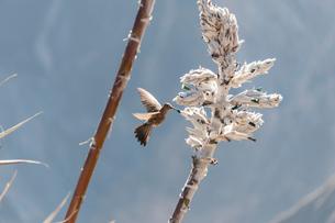 ペルーに生息する世界最大級のハチドリの写真素材 [FYI02678266]
