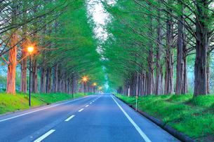夜明けのメタセコイア並木の写真素材 [FYI02678298]