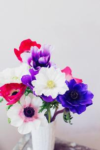 白い花器に活けたカラフルなアネモネの写真素材 [FYI02678305]