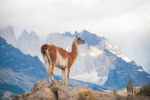 パタゴニアの動物:グアナコとトーレスデルパイネ峰の写真素材 [FYI02678326]