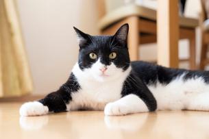 飼い猫の写真素材 [FYI02678336]