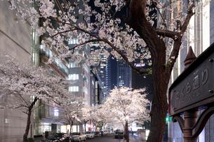 桜咲く日本橋さくら通りのライトアップの写真素材 [FYI02678346]