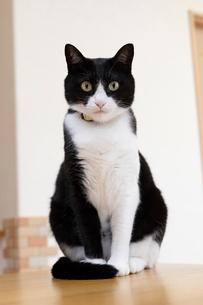 飼い猫の写真素材 [FYI02678400]