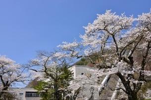 東京電力,秋元発電所,桜の写真素材 [FYI02678441]
