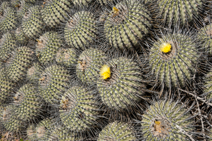 アタカマ砂漠のサボテン・コピアポアの写真素材 [FYI02678454]