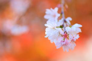 城峯公園の冬桜と紅葉の写真素材 [FYI02678491]