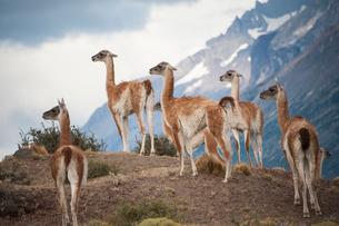 パタゴニアの動物:グアナコの群れの写真素材 [FYI02678542]