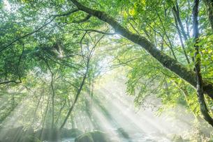 原生林と湧水と光芒の写真素材 [FYI02678555]