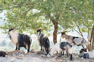 スルジ山のヤギの写真素材 [FYI02678621]